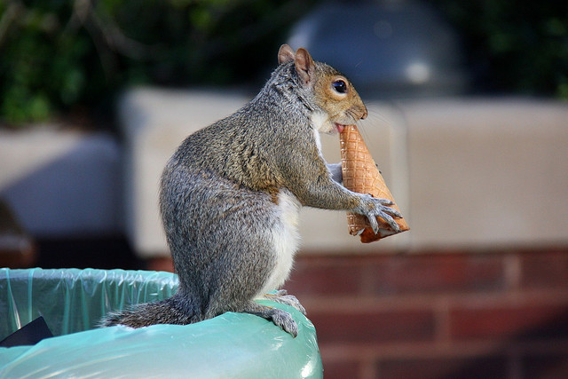 Squirrel eating ice cream
